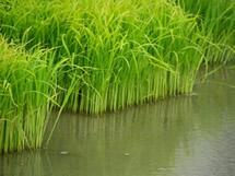 富山のお米